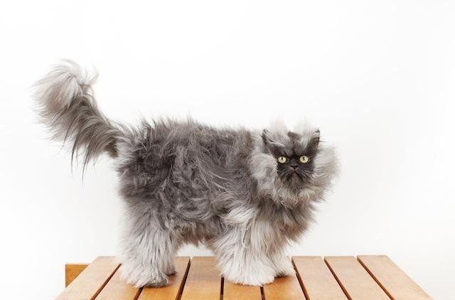 Record Guiness al gato con el pelo más largo