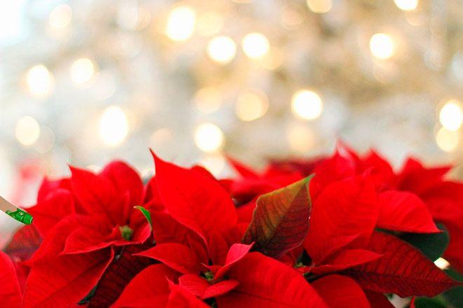 flores de pascua para decorar en navidad
