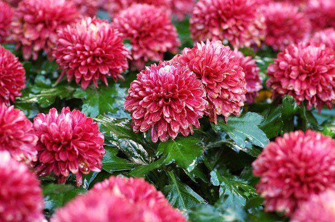 usos medicinales de los crisantemos
