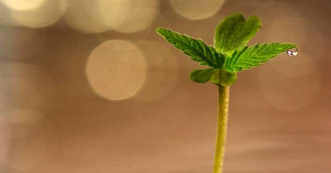 cómo germinar semillas de marihuana para que crezcan